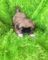Pekingese Puppies for sale in Pittsburgh, PA 15252, USA. price: NA