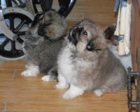 Pekingese Puppies for sale in Los Angeles, CA 90012, USA. price: NA