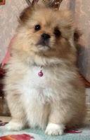 Pekingese Puppies for sale in Seattle, WA 98185, USA. price: NA