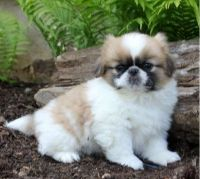 Pekingese Puppies for sale in Colorado Springs, CO, USA. price: NA