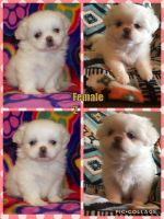 Pekingese Puppies for sale in Parkersburg, WV 26104, USA. price: NA