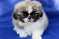 Pekingese Puppies for sale in TX-121, Blue Ridge, TX 75424, USA. price: NA