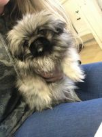Pekingese Puppies for sale in Beverly Hills, CA 90210, USA. price: NA