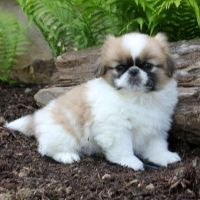 Pekingese Puppies for sale in Atlanta, GA, USA. price: NA