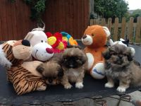 Pekingese Puppies for sale in Oakland, CA 94624, USA. price: NA