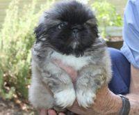 Pekingese Puppies for sale in Miami, FL, USA. price: NA
