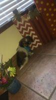 Pekingese Puppies for sale in Houston, TX 77012, USA. price: NA