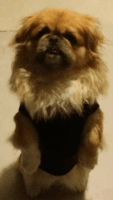 Pekingese Puppies for sale in Lancaster, CA, USA. price: NA