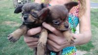 Pekingese Puppies for sale in Peoria, IL, USA. price: NA