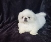 Pekingese Puppies for sale in Ellwood City, PA 16117, USA. price: NA