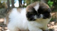 Pekingese Puppies for sale in Torrance, CA, USA. price: NA
