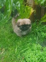 Pekingese Puppies for sale in Clifton, NJ, USA. price: NA