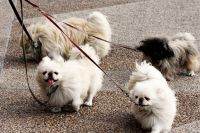 Pekingese Puppies for sale in Indianapolis, IN, USA. price: NA