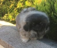 Pekingese Puppies for sale in New York County, New York, NY, USA. price: NA