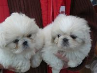 Pekingese Puppies for sale in California St, San Francisco, CA, USA. price: NA