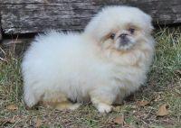 Pekingese Puppies for sale in Charleston, WV, USA. price: NA