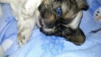 Pekingese Puppies for sale in Middletown, PA 17057, USA. price: NA