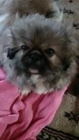 Pekingese Puppies for sale in Brook Park, OH, USA. price: NA
