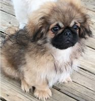 Pekingese Puppies for sale in Denver, CO 80219, USA. price: NA