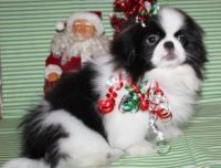 Pekingese Puppies for sale in Buechel, KY 40218, USA. price: NA