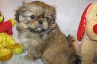 Pekingese Puppies for sale in Kansas City, KS 66117, USA. price: NA