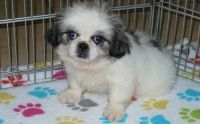 Pekingese Puppies for sale in New Orleans, LA, USA. price: NA