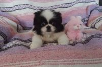 Pekingese Puppies for sale in Norwalk, CT, USA. price: NA