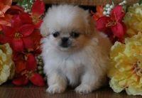 Pekingese Puppies for sale in Florida Ave NW, Washington, DC, USA. price: NA