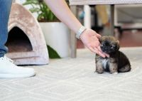 Pekingese Puppies for sale in Orange County, CA, USA. price: NA