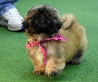 Pekingese Puppies for sale in New York, NY, USA. price: NA