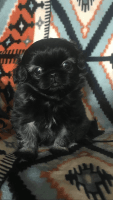 Pekingese Puppies for sale in North Parkersburg, WV 26104, USA. price: NA