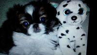 Pekingese Puppies for sale in North Wilkesboro, NC, USA. price: NA