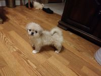 Pekingese Puppies for sale in Albany, GA 31721, USA. price: NA