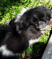 Pekingese Puppies for sale in Hunt County, TX, USA. price: NA
