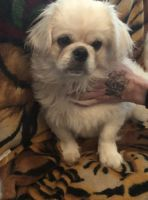 Pekingese Puppies for sale in Clover, SC 29710, USA. price: NA
