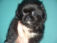 Pekingese Puppies for sale in Enterprise, AL 36330, USA. price: NA