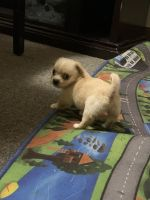 Pekingese Puppies for sale in 563 S Canal St, Holyoke, MA 01040, USA. price: NA