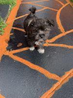 Pekingese Puppies for sale in Miami, FL 33177, USA. price: NA