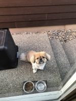Pekingese Puppies for sale in Lacey, WA, USA. price: NA