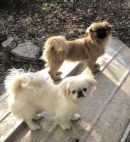 Pekingese Puppies for sale in Covington, KY 41011, USA. price: NA