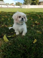 Pekingese Puppies for sale in 365 N 200 E, Ivins, UT 84738, USA. price: NA