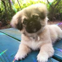 Pekingese Puppies for sale in Largo, FL, USA. price: NA