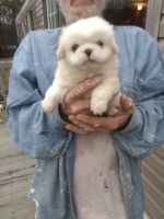 Pekingese Puppies for sale in Fayetteville, NC, USA. price: NA