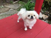 Pekingese Puppies for sale in Dallas, TX, USA. price: NA
