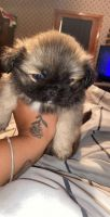 Pekingese Puppies for sale in Mobile, AL, USA. price: NA