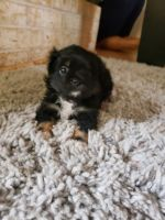Pekingese Puppies for sale in Iowa Park, TX 76367, USA. price: NA
