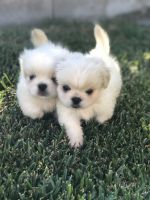 Pekingese Puppies for sale in San Bernardino, CA 92404, USA. price: NA