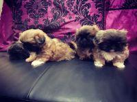 Pekingese Puppies for sale in Tucson, AZ, USA. price: NA