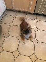 Pekingese Puppies for sale in Arlington Heights, IL, USA. price: NA