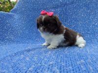 Pekingese Puppies for sale in La Habra Heights, CA, USA. price: NA